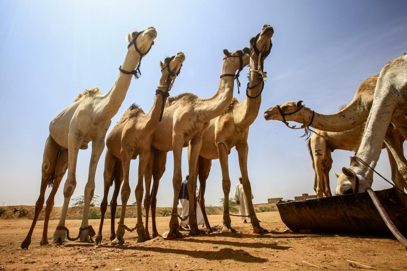 تجار الإبل في سوق المويلح السودانية ينأون بأنفسهم عن أحداث البلاد الثورية اندبندنت عربية