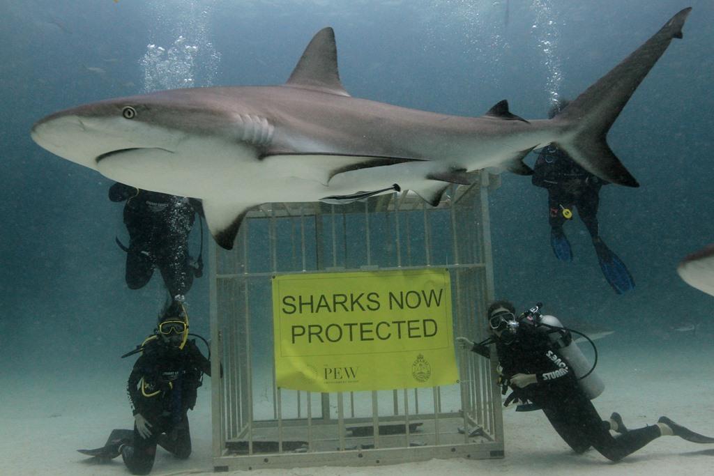 صورة لسمكة قرش قرب لافتة تعلن ان أسماك القرش أصبحت محمية في مياه جزر الباهاماس.(رويترز)