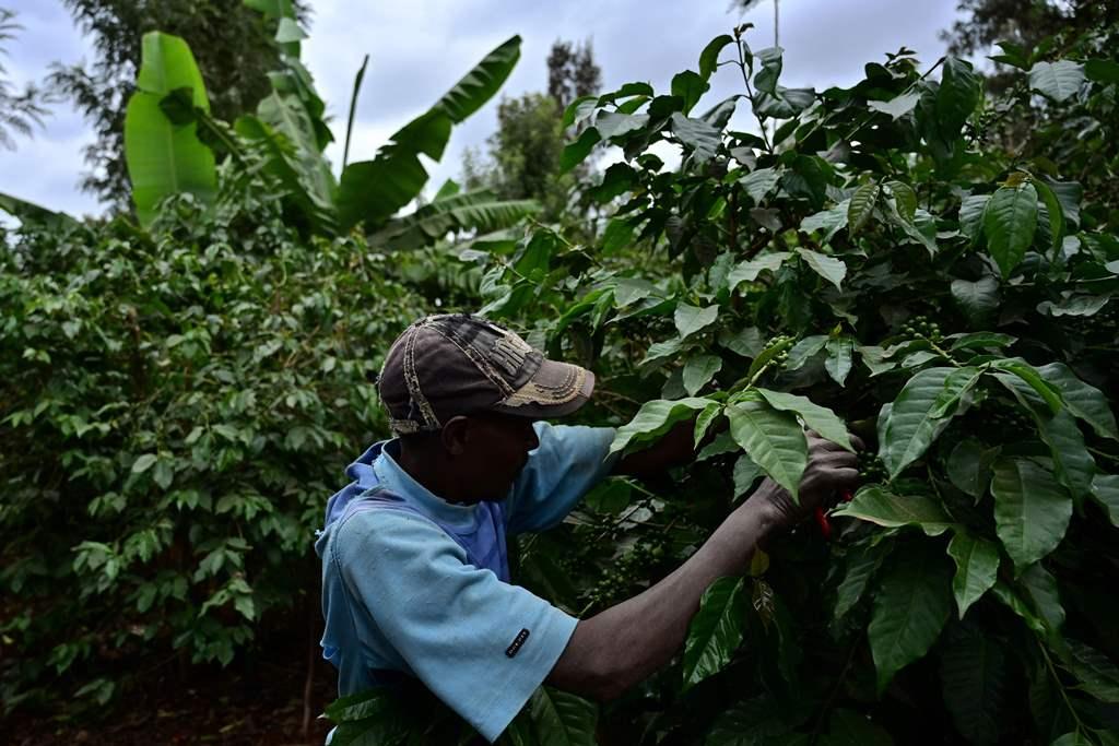 مزارع يقوم بجمع محصول القهوة في كيامبو بكينيا (أ.ف.ب)