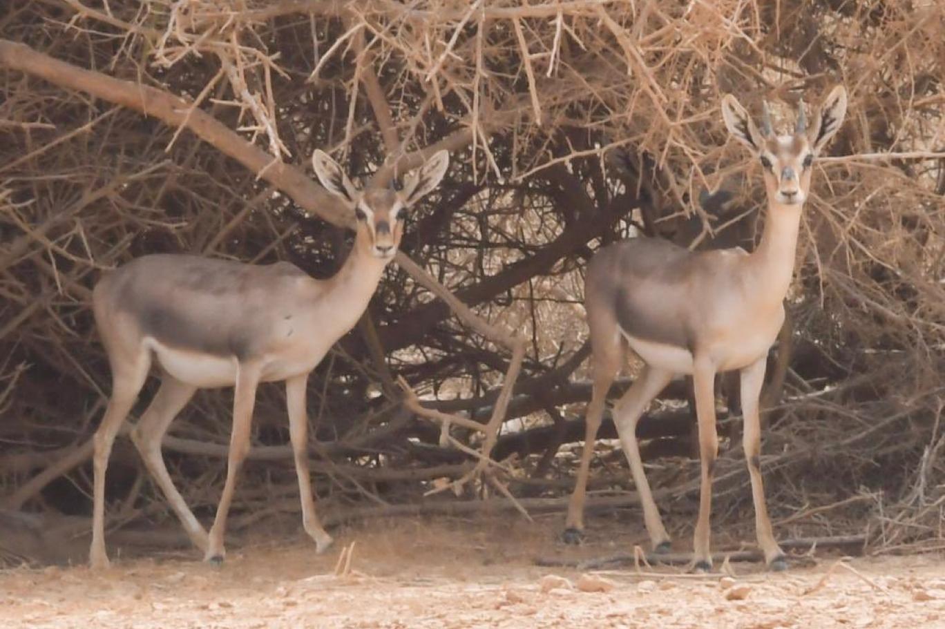 الغزال الفرساني أحد الأنواع المهددة بالانقراض عالميا (خالد حمزي).jpg