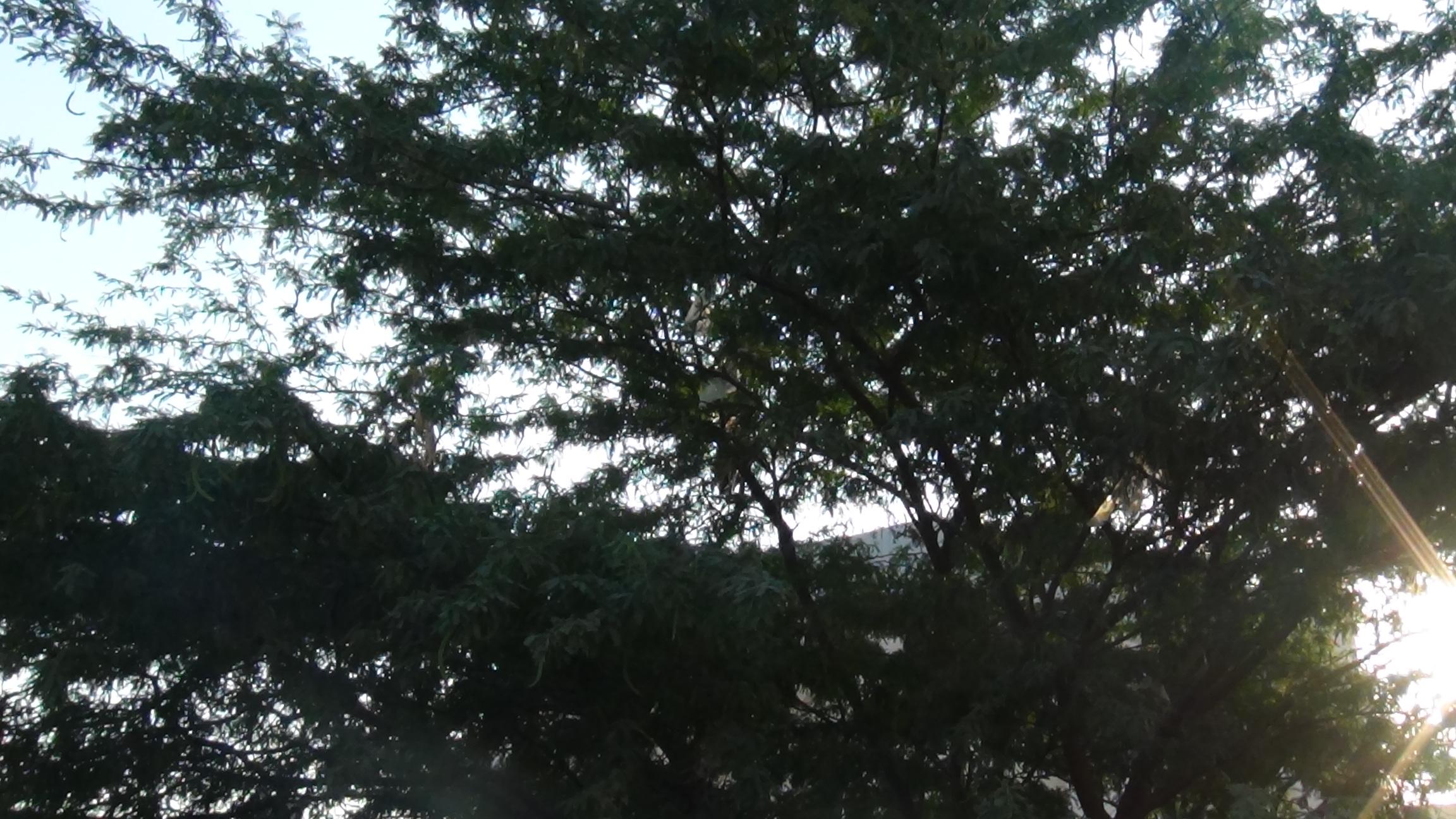 شجرة السيسبان.JPG