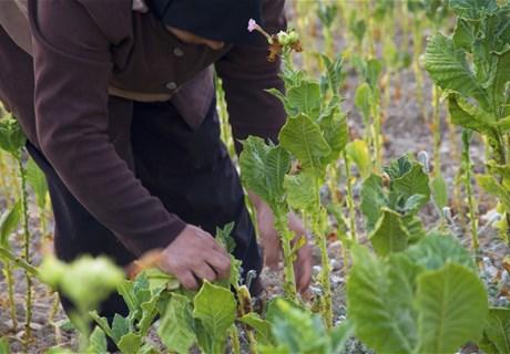 زراعة التبغ تحتاج إلى 14 شهرا من العمل- الصورة من موقع (الريجي).jpg