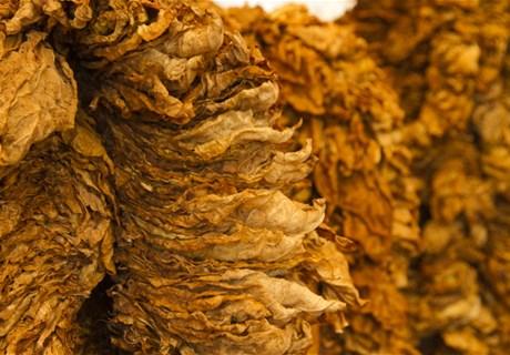 التبغ في ترتيبه الأخير قبل التسليم- موقع الريجي.jpg