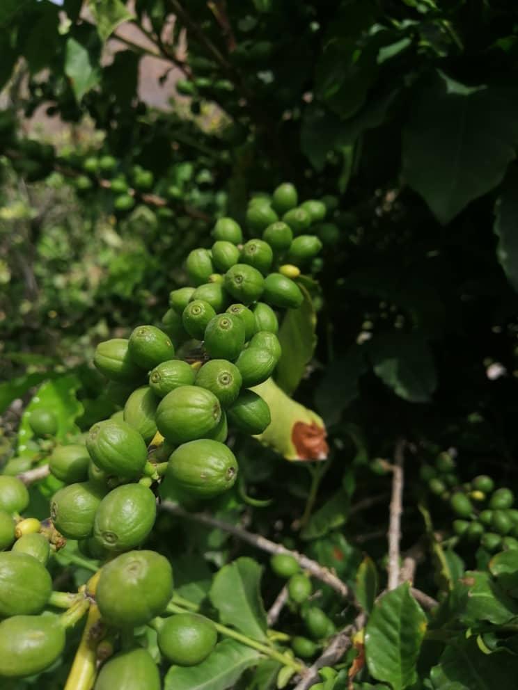 يزرع البن اليافعي في اليمن كشتلات على جوانب الأودية والجبال