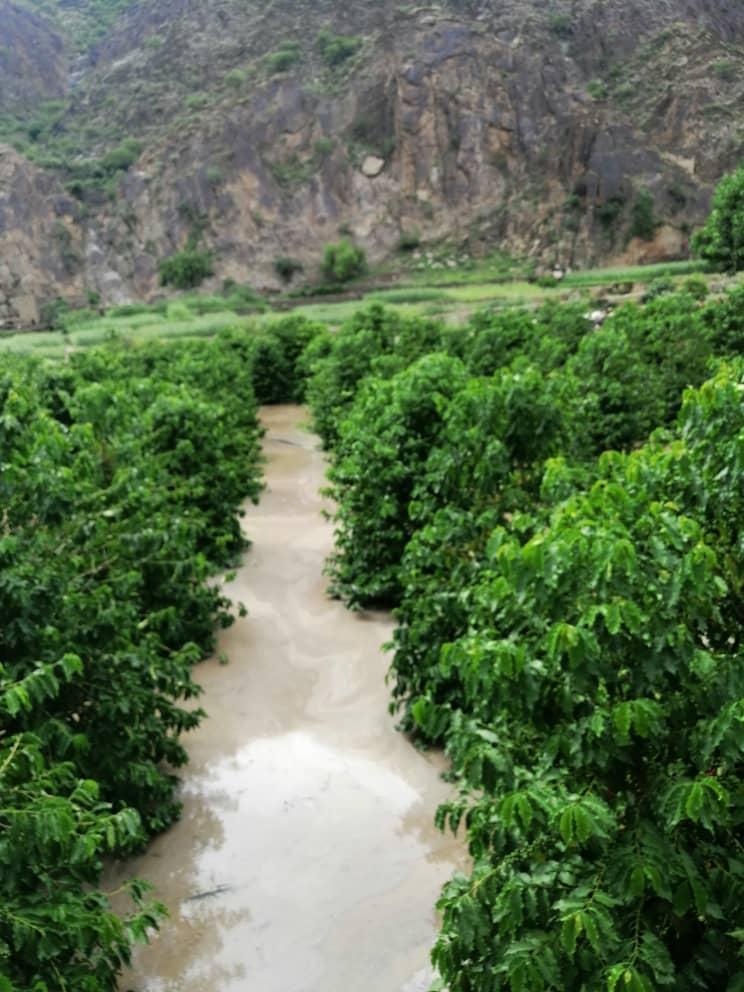 يحتل البن اليافعي مكانه رفيعة في الأسواق المحلية والعالمية. (اندبندنت عربية)