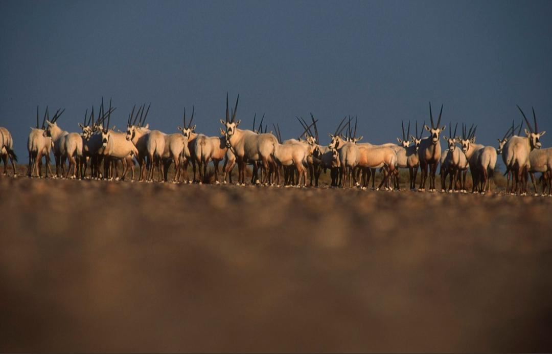 ساهم الصيد الجائر غير المبرر في تراجع أعداد قطعان الحيوانات البرية (مركز الحياة الفطرية السعودي)