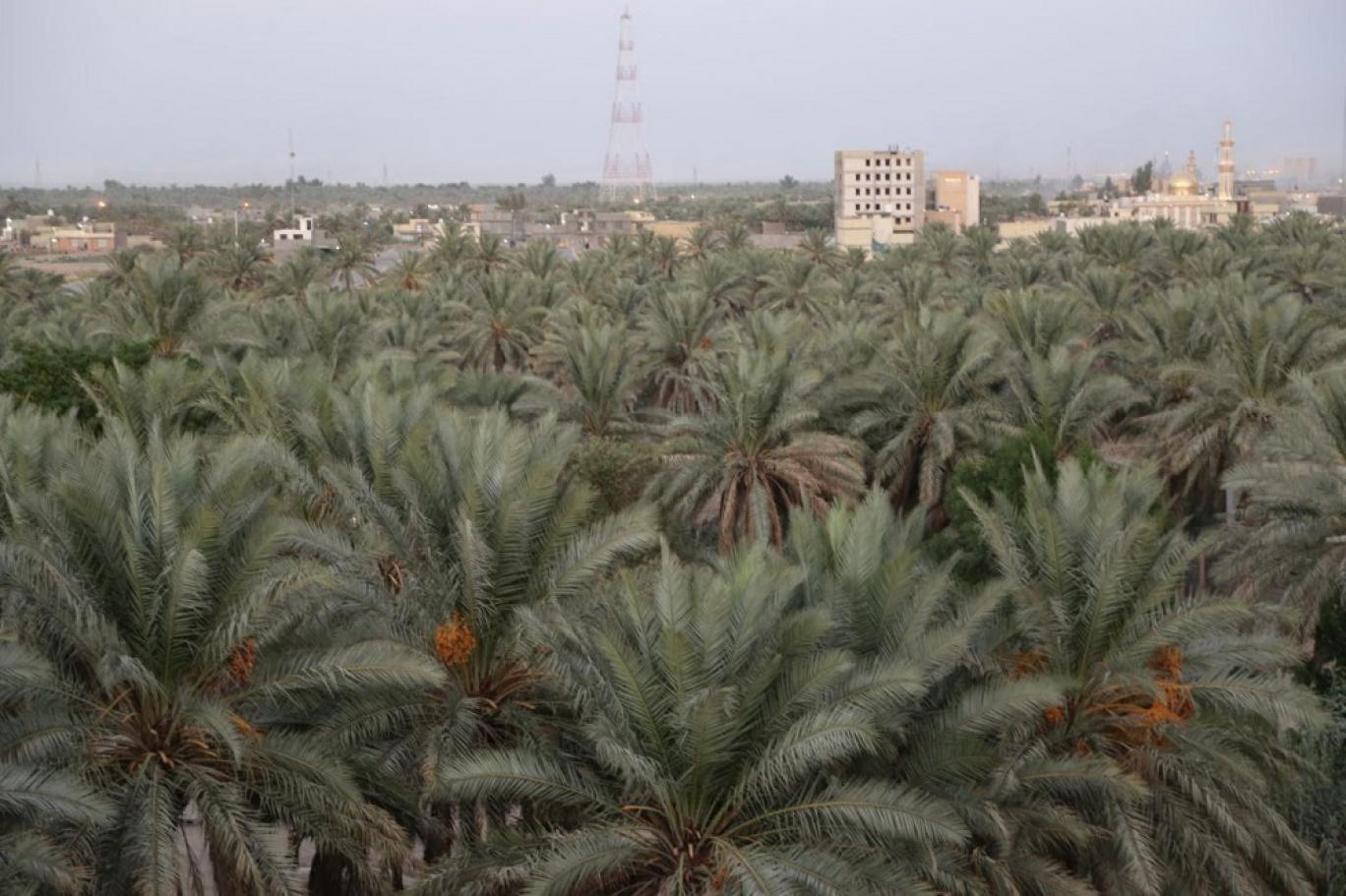 اشتهرت العراق بغابات النخيل التي تقلص عددها في الآونة الأخيرة مع توسع المدن (اندبندنت عربية)