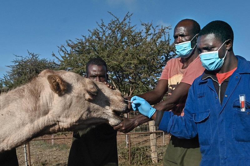 kenya camel 2 afp.jpg