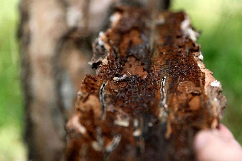 pine trees 2 afp.jpg