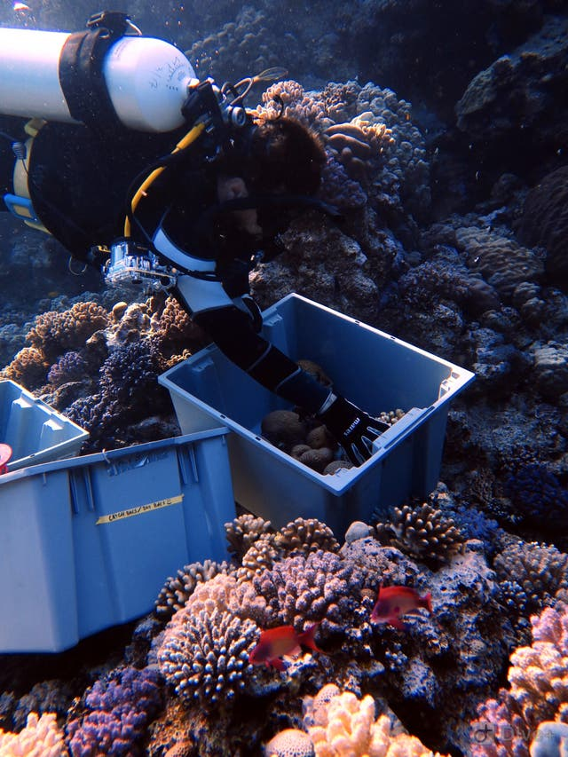 researche collecting coral kaust.jpg